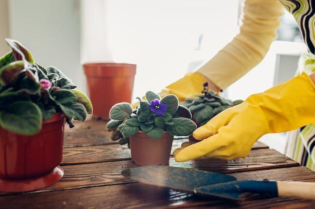 Kobieta przesadzająca fioletową roślinę do innej doniczki w kuchni. gospodyni zajmująca się domowymi roślinami i kwiatami. prace ogrodowe