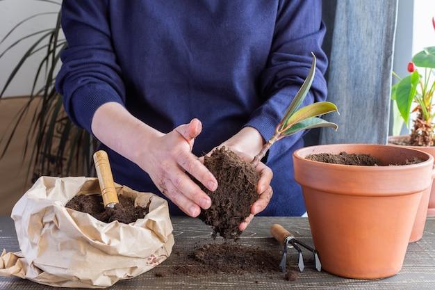 Kobieta przesadzająca kwiat figowca w nowym brązowym glinianym garnku, przeszczep rośliny doniczkowej w domu