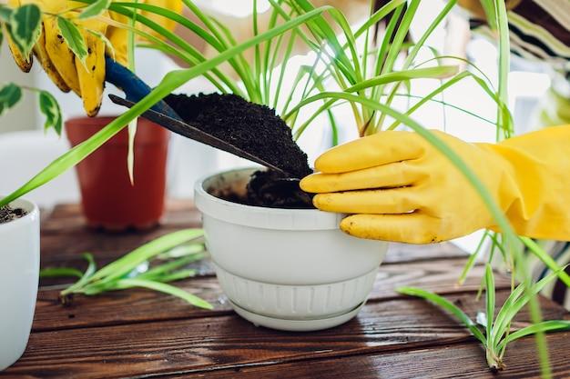 Kobieta przesadzania roślin do innego garnka w kuchni. gospodyni zajmująca się domowymi roślinami i kwiatami. prace ogrodowe