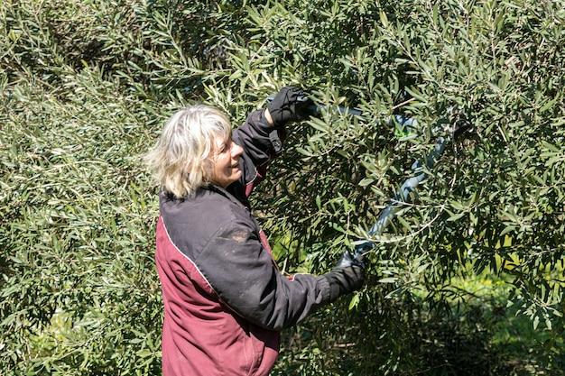 Kobieta przycinająca drzewo oliwne przed wiosną