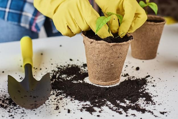Kobieta ręce w żółte rękawiczki przeszczepiania roślin. koncepcja pielęgnacji roślin