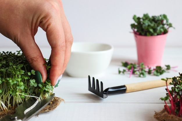 Kobieta ręcznie tnie microgreens nożyczkami rosnąca microgreens w domu zdrowa żywność wegańska żywność di...
