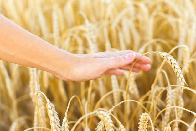 Kobieta ręką dotykając kłosy pszenicy na polu