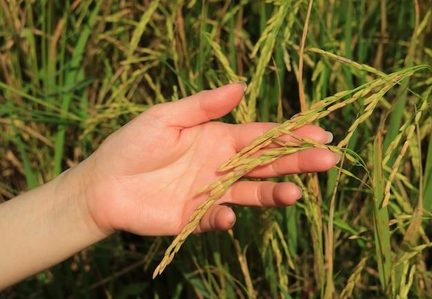 Kobieta ręka trzyma dojrzałe ziarna ryżu roślin ryżu na polu ryżowym