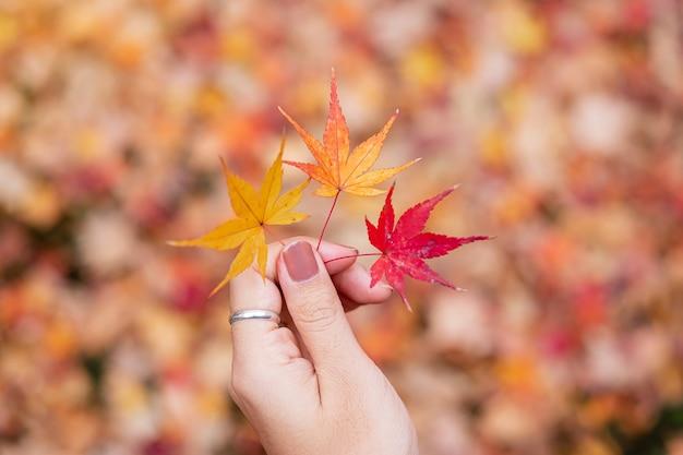 Kobieta ręka trzyma liście klonu