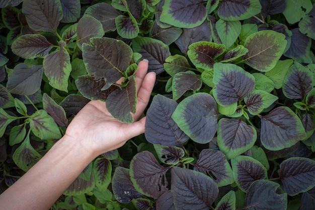 Kobieta ręka trzyma szpinak lub czerwone amarantowe warzywa w ogrodach