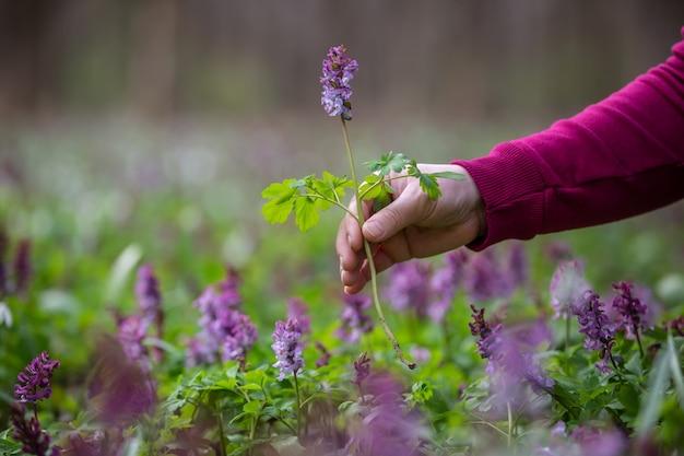 Kobieta ręka zbierająca lub zbierająca bardzo rzadkie kwiaty w parku narodowym lub ogrodzie botanicznym, koncepcja ochrony środowiska