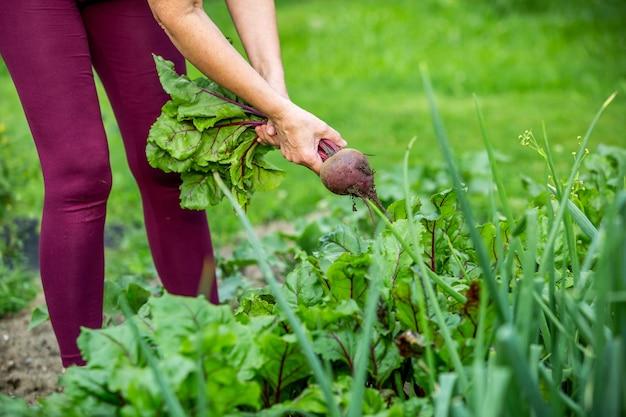 Kobieta rolnik zbierająca świeże buraki z jej ogromnego ekologicznego ogrodu, koncepcja ogrodnictwa