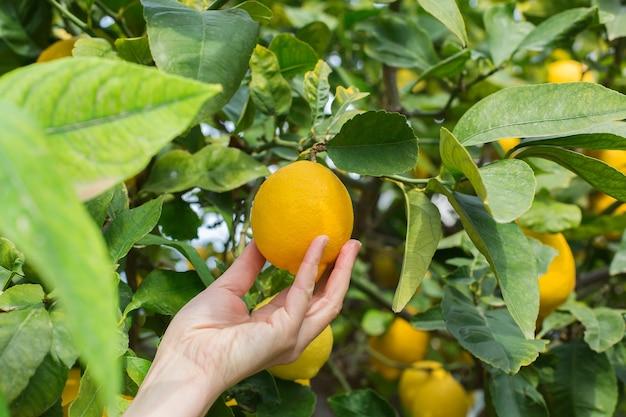 Kobieta rolnik zbieranie cytryny w sadzie
