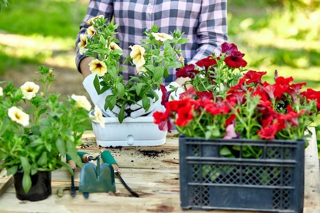 Kobieta sadząca kwiaty petunii stojącej za drewnianym stołem w letnim ogrodzie w domu