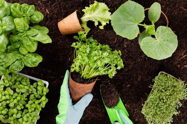 Kobieta sadzenie młodych sadzonek sałaty w ogrodzie warzywnym