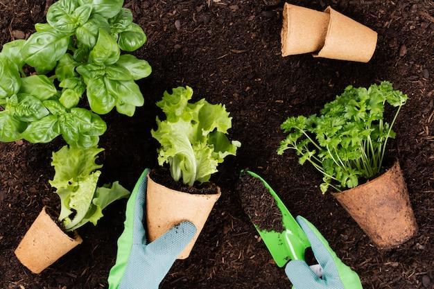 Kobieta sadzenie młodych sadzonek sałaty w ogrodzie warzywnym.