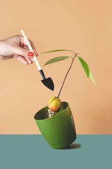 Kobieta sadzi awokado w doniczce z kiełkujących nasion