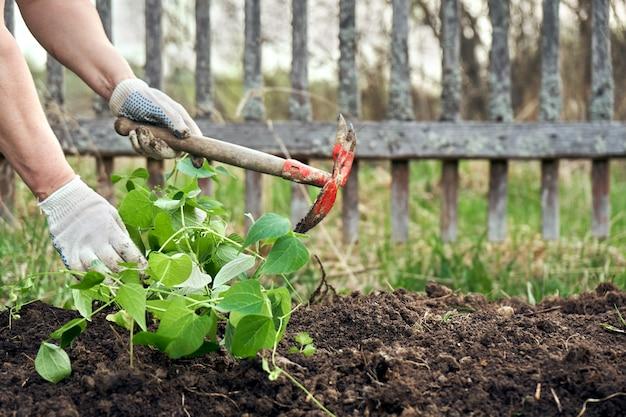 Kobieta sadzi sadzonki fasoli w ziemi