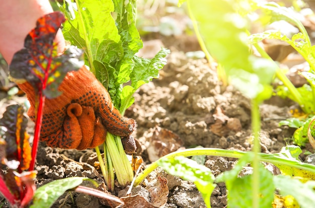 Kobieta sadzi warzywa w przydomowym ogrodzie. stare brudne rękawiczki. gospodarstwo pracuje latem. rośliny rodzime i żywność przyjazna dla środowiska. czas zbiorów.