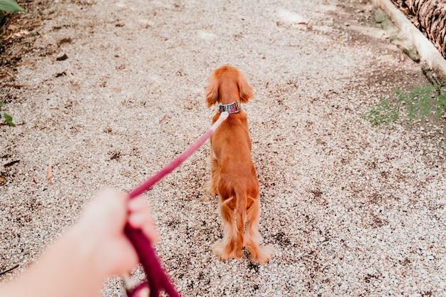 Kobieta spaceru ze swoim cute puppy cocker spaniel. ręka pov i smycz
