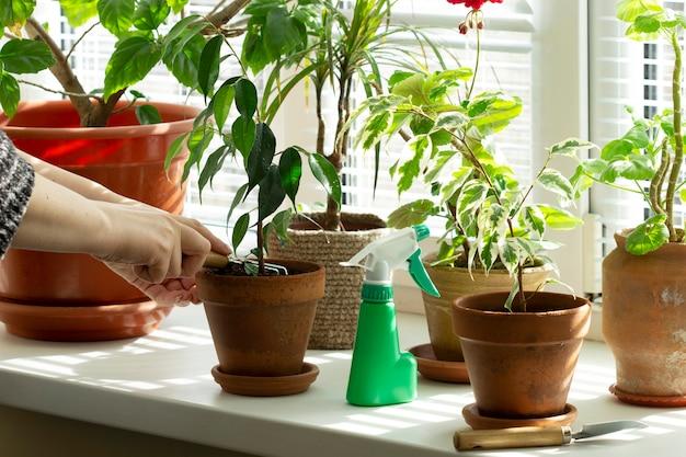 Kobieta spulchnia glebę w doniczkach. rośliny domowe na parapecie. selektywna ostrość.