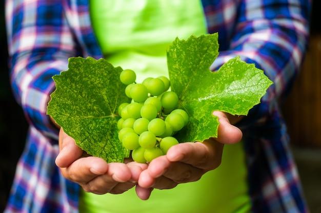 Kobieta trzyma w rękach kiść zielonych winogron, strzał z bliska.