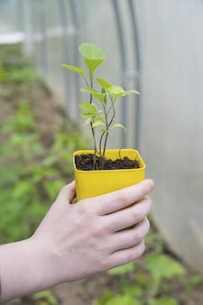 Kobieta trzyma żółty garnek z rośliną w ręku