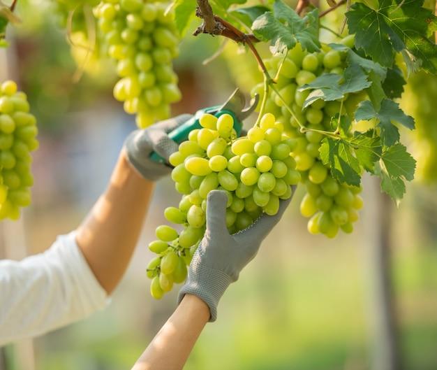 Kobieta ubrana w kombinezon i zbierająca winogrona w winnicy.