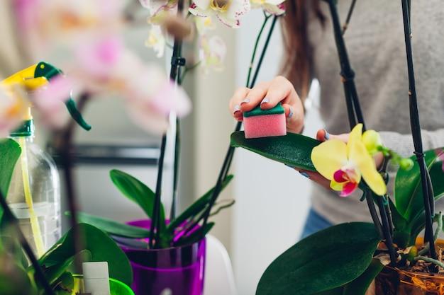 Kobieta usuwająca kurz z liści orchidei gąbką. gospodyni opiekująca się roślinami domowymi. hobby