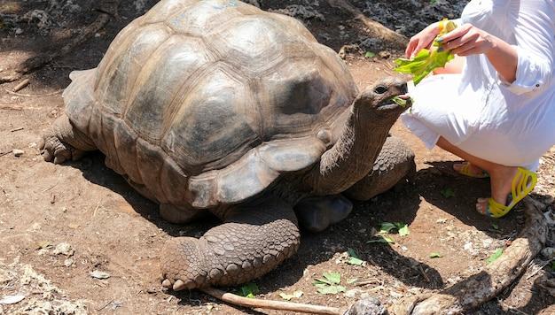 Kobieta w białej sukni dziewczyna karmiąca żółwia olbrzymiego aldabra zanzibar tanzania afryka selektywne skupienie