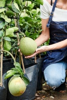 Kobieta w fartuch sprawdzanie rosnących owoców pomelo