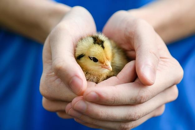 Kobieta w niebieskiej sukience trzyma w rękach małą śliczną żółtą kurę z kurczaka noworodka, rozgrzewkę, ptaki hodowlane