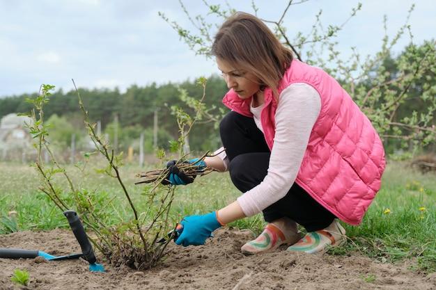 Kobieta w rękawicach przycinających krzewy różane z ogrodowym sekatorem