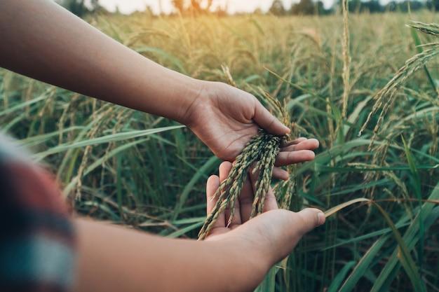 Kobieta wręcza sprawdzać ryż w polu.