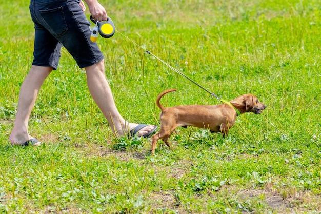 Kobieta z brązowym jamnikiem spaceruje po parku. brązowy jamnik biegnie po trawie obok kobiety
