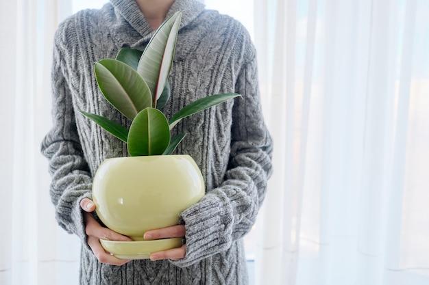 Kobieta z doniczkową rośliną domową w rękach, zbliżenie figowca gumowego drzewa doniczkowego, białe tło, kopia przestrzeń