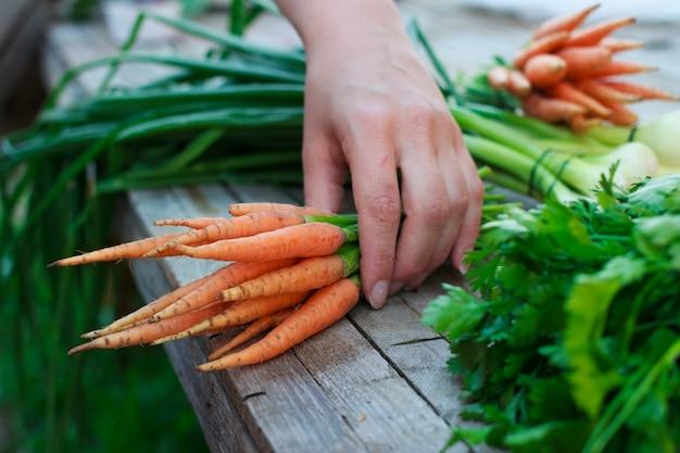 Kobieta z świeżymi organicznie marchewkami i zielonymi ziele na starym drewnianym stole w ogródzie