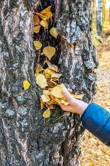 Kobieta zabiera opadłe suche liście z dziupli brzozy jesienny krajobraz