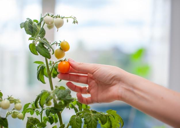 Kobieta zbiera dojrzałe, żółte pomidory. niedojrzałe i dojrzałe małe pomidory rosnące na parapecie. świeże mini warzywa w szklarni na gałęzi z zielonymi owocami. młode owoce na krzaku.