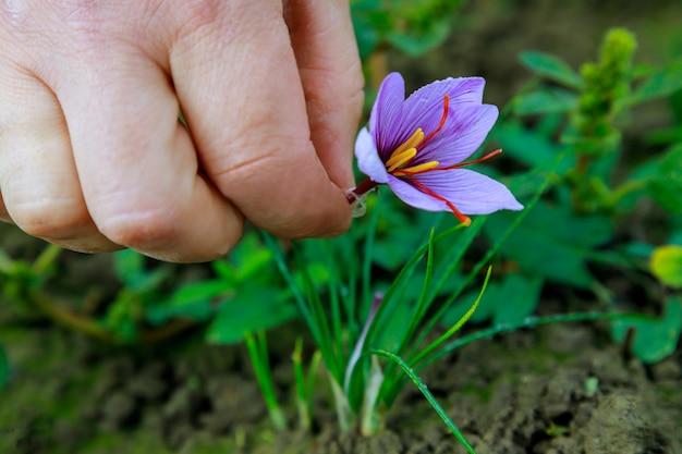 Kobieta zbiera fioletowy szafran na polu