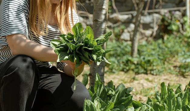 Kobieta zbiera liście sałaty w ogrodzie warzywnym.