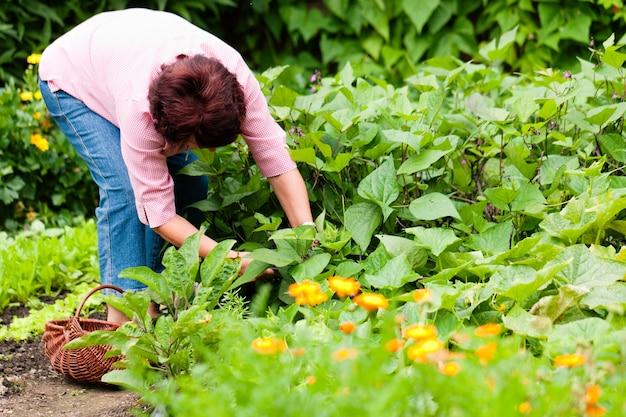 Kobieta zbiera ogórki w jej ogródzie