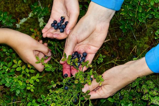 Kobieta zbiera organiczne jagody w lesie. kobiece ręce zbierają jagody w letnim lesie. ręce kobiet poplamione jagodami.