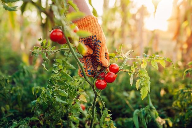 Kobieta zbiera pomidory czereśniowe na farmie, koncepcja ogrodnictwa, rolnik, zbierając warzywa