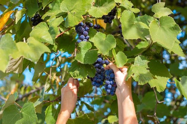 Kobieta zbiera winogrona. czarne winogrona isabella wiszą na gałęzi. zbiór owoców i jagód jesienią.