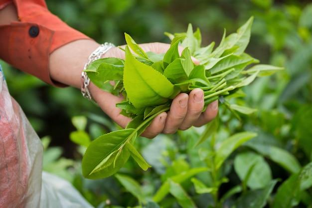 Kobieta zbierająca liści herbaty, z rąk na plantacji herbaty.
