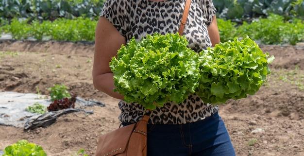 Kobieta zbierająca sałatkę w polu