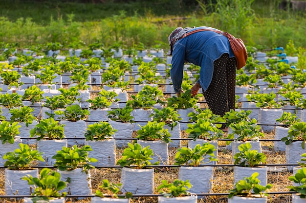 Kobiety pracujące w pięknych truskawkowych polach wieczorem.