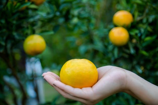 Kobiety ręka trzyma świeżej dojrzałej tangerine pomarańcze na gałąź z liśćmi narastający tangeri