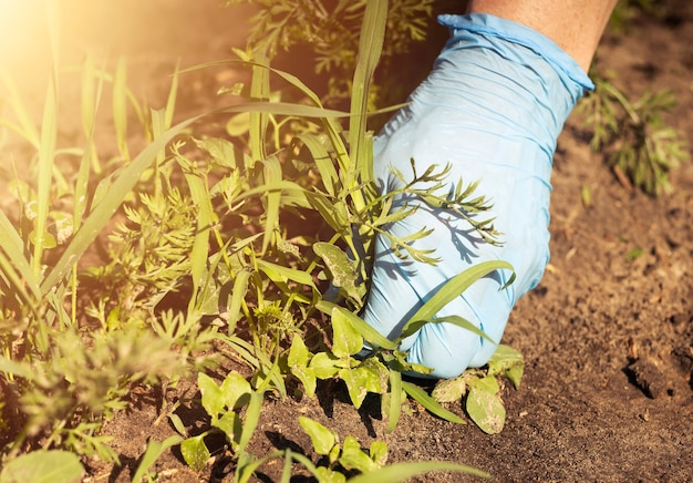 Kobiety ręka w rękawice robocze z bliska, usuwając chwasty z ziemi w zielonym, liściastym ogrodzie warzywnym