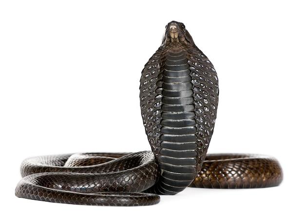 Kobra egipska, na białym tle naja haje