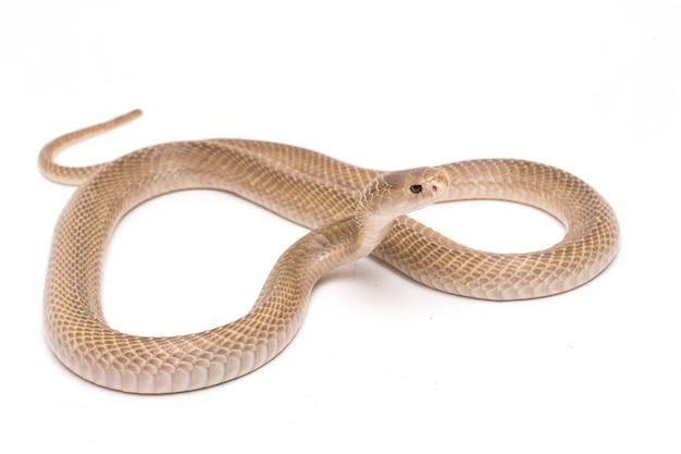 Kobra jawajska plująca na białej przestrzeni