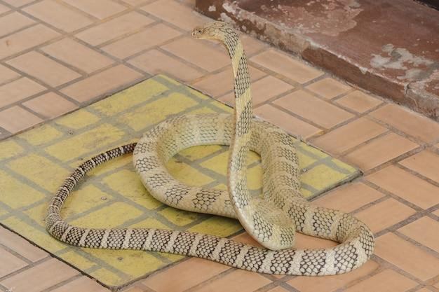 Kobra królewska podnosi głowę. kobra królewska jest najdłuższym jadowitym wężem na świecie.