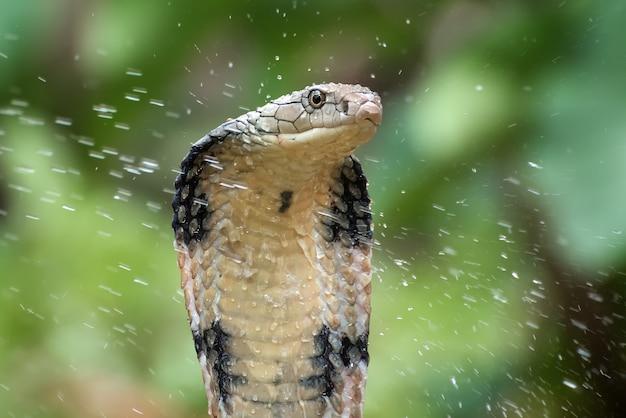 Kobra królewska w pozycji ataku
